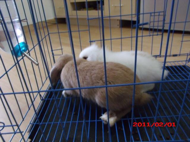家里养了狗,狗狗老是跑去骚扰小兔子,不得已只好将小兔兔转让了。两只两兔 子都很可爱,很能吃,也不会怕生,挺好养的。两只都是垂耳兔,白色的那只是 长毛的,黄色那只是短毛。喜欢小兔子的可跟我联系哦,注意一点是,要两只一 起买哦,不然剩下一只它会很孤单的。。(照相的时候忘记把时间调好了,所以 上面显示的时间是错的,大家忽略它哦) 另外我是在深圳哦
