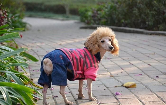 贵宾犬吃什么狗粮好?   贵宾犬也称贵妇犬,属于非常聪明且喜欢狩猎的犬种,据猜测贵妇犬起源于德国,在那儿它以水中捕猎犬而著称。然而许多年以来,它一直被认为是法国的国犬,贵宾犬分为标准犬、迷你犬、玩具犬三种。它们之间的区别只是在于体型的大小不同。    狗狗所需要的营养   要保证狗狗每天充足的营养及合理的膳食结构,才能让狗狗健康成长。其中肉类与蛋白质是狗粮中最重要的营养成分。下面介绍一下自制狗粮中4大肉类食品以及养分结构。   肉类及其副产品。   肉类由动物肌肉、肌间脂肪、肌肉鞘膜、筋腱以及血管等