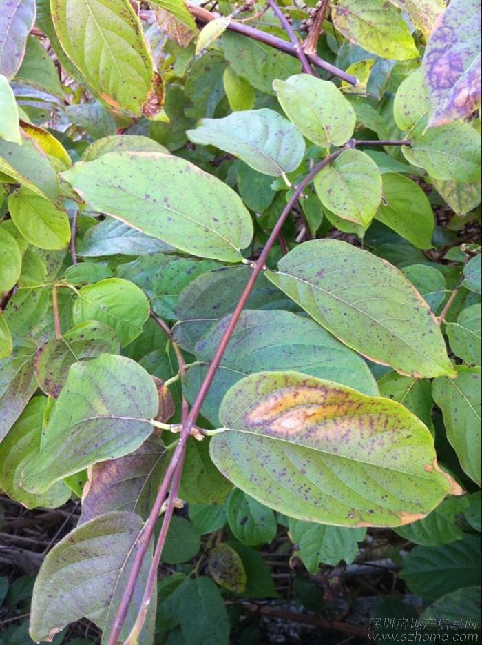 这种藤蔓植物到底是什么?
