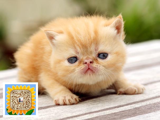 萌版小加菲猫