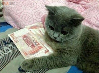 可爱的胖灰猫图片