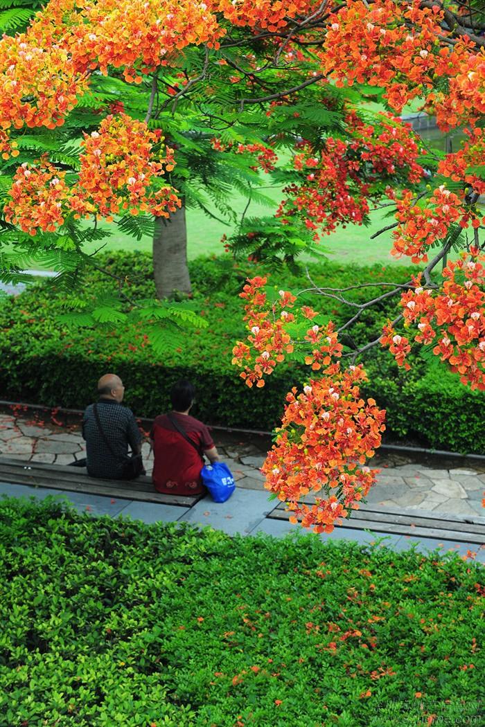 【摄影】繁花似锦——华侨城生态公园凤凰木