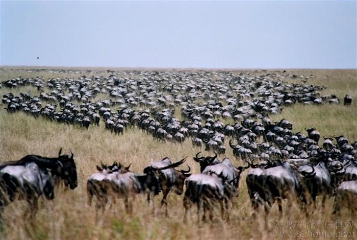 暑假哪里去?康辉带你走进肯尼亚看--动物大迁途
