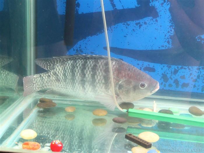 喜欢吃鱼吗?都喜欢都鱼的哪个部位!-人们最喜欢吃鱼?