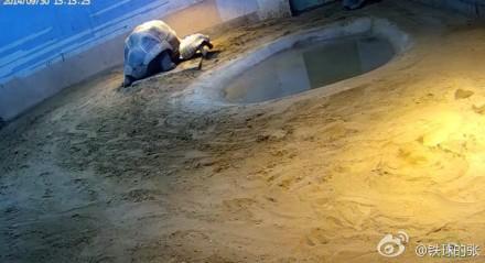 百度动物园直播非洲象龟交配