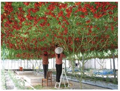 谁有无限生长型番茄苗啊,能长成番茄树的