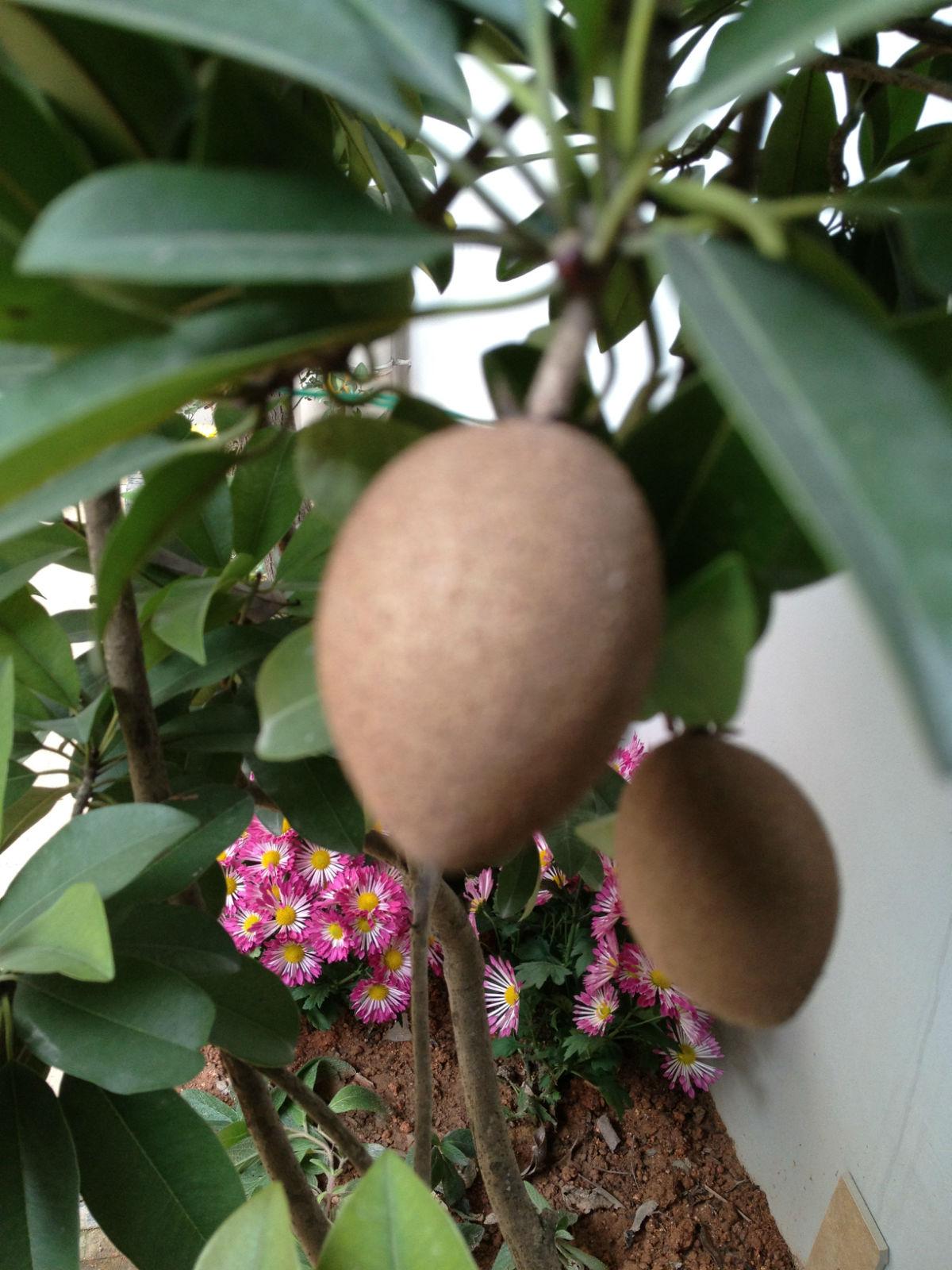 代发帖:转柠檬树,人参果树