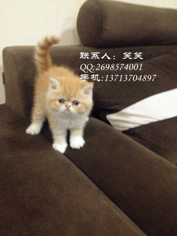 超级可爱萌版加菲猫等你抱回家~~肥嘟嘟活泼健康!