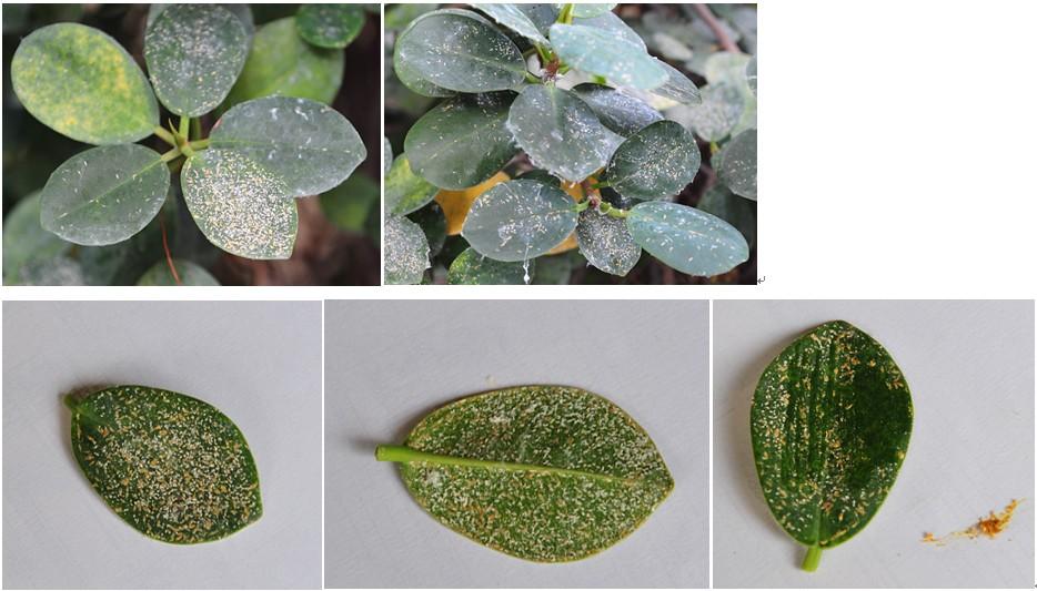 榕树叶子上长的是是什么病虫