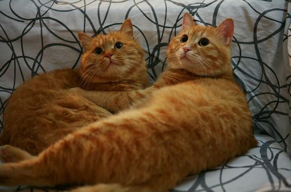 380 猫咪乐园  >【2013创意举猫】家有双胞胎.