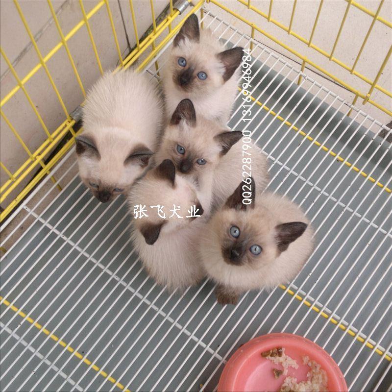 可爱西母猫泰国猫暹罗猫纯种幼猫短毛公母都有保证宝