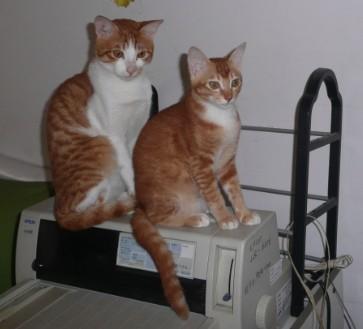 纯宠物猫,会吃猫粮,会上厕所(不用猫砂),已经驱虫,非常可爱,通人气!