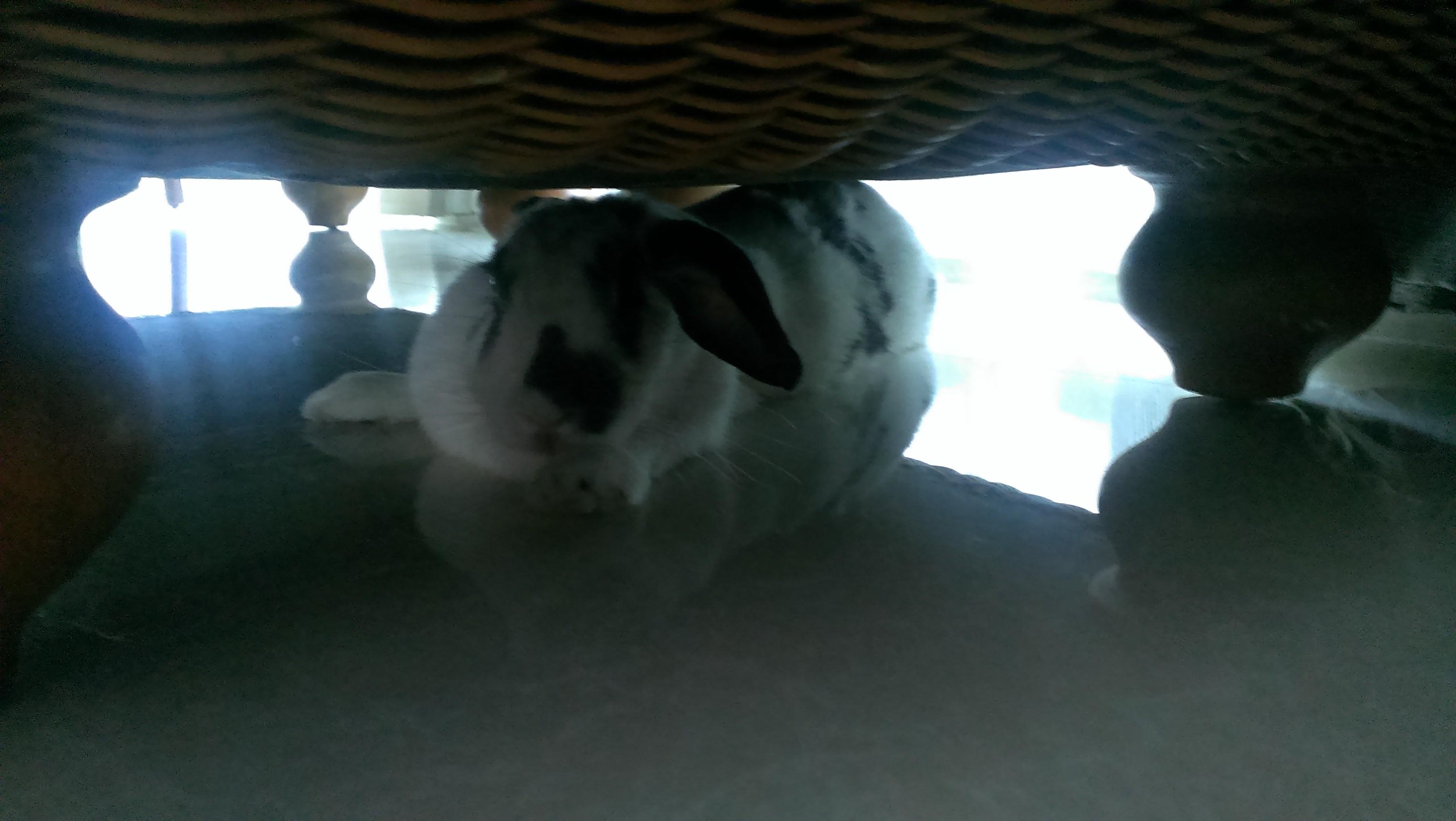 家养的可爱大白兔动态图片