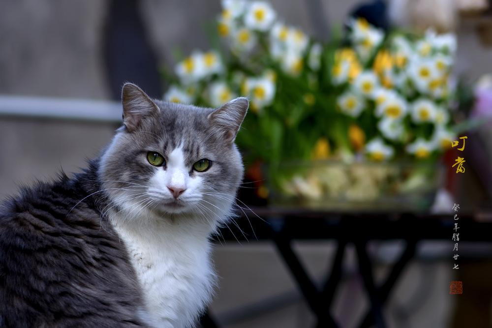 帅气的森林猫给大家拜年了(新春快乐)