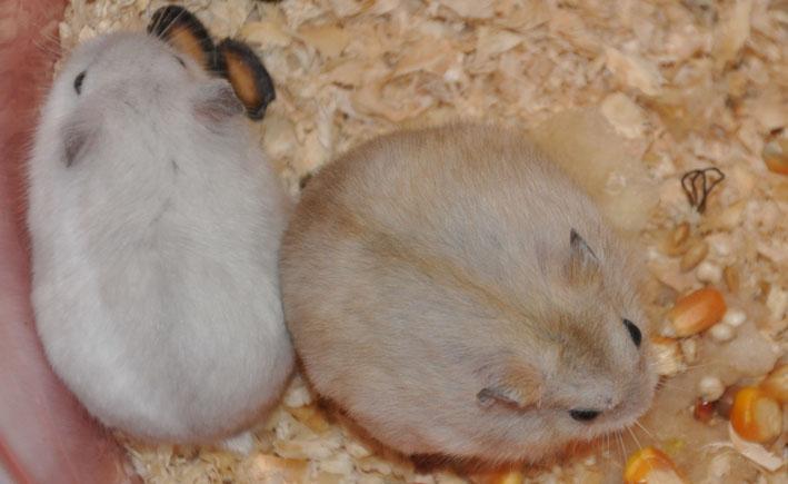 两只超级可爱的布丁小仓鼠换花土