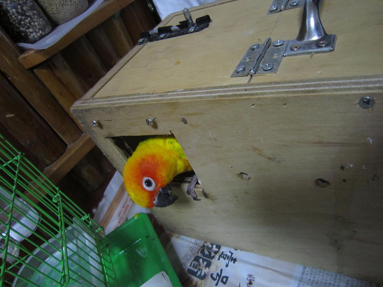 金太阳鹦鹉 - 家在深圳