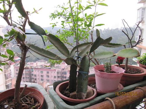 盆栽蒜的方法图解