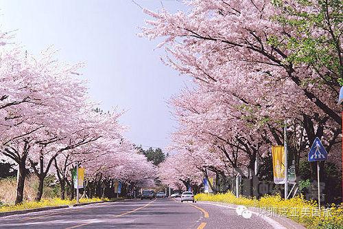 人们可以一边欣赏樱花飘落的胜景,一边观看各种韩国特有的民俗表演.