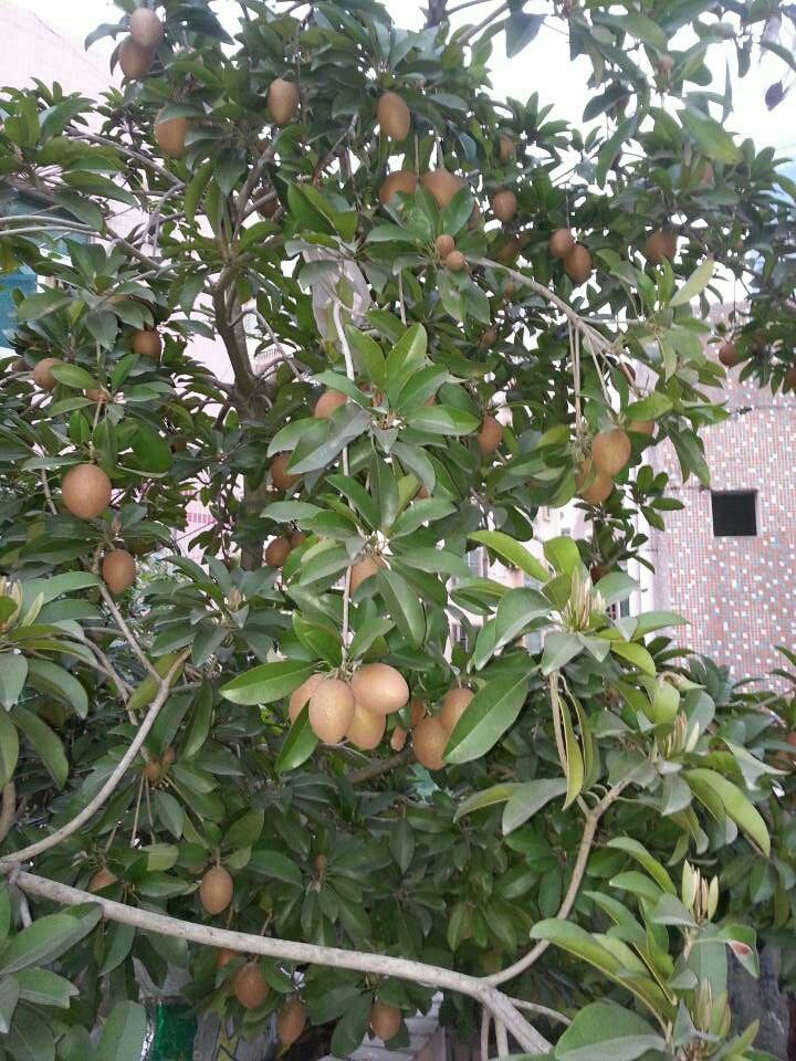 你的人参果树是种在楼顶