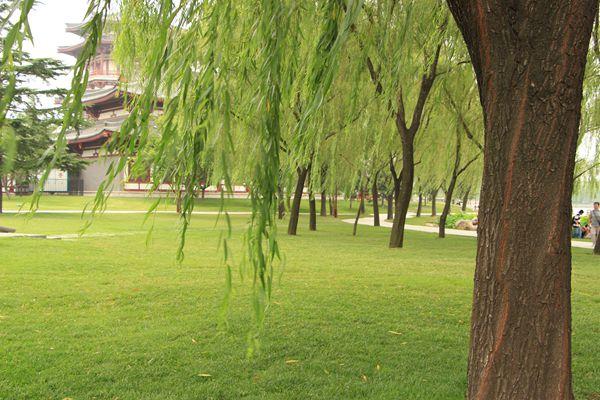 壁纸 垂柳 电脑 风景 风景壁纸 柳树 摄影 树 桌面 600_400