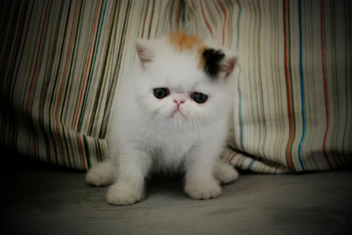 可爱加菲猫出售-预定中