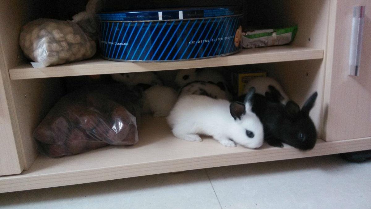 淘淘亲自把8个小家伙从没有毛养成非常可爱的小兔子,四只小白,两个