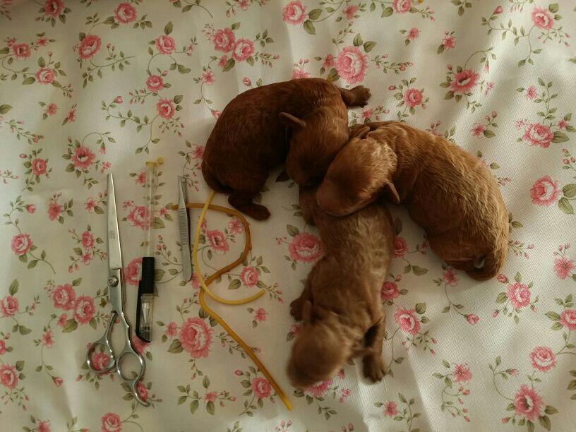 为我家刚出生的三只贵宾小宝宝跪求断尾的气门芯