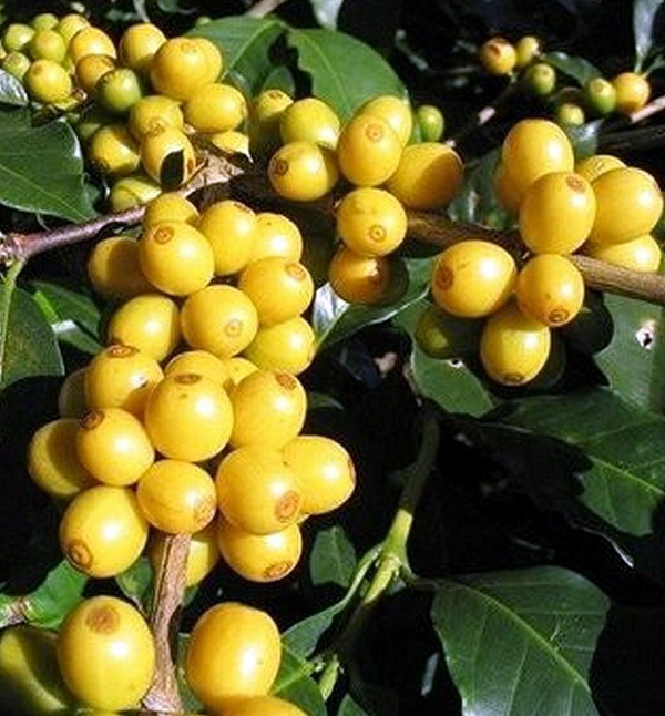 二,成长 咖啡树生长的最初四,五年会不断向下扎根,向上