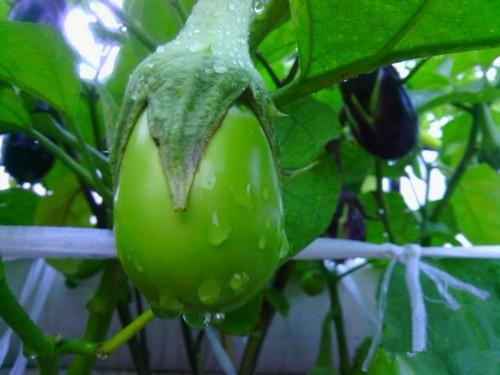 水淋淋的绿茄子
