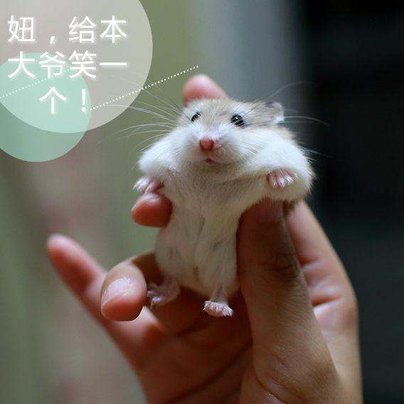 苍鼠萌图片大全可爱