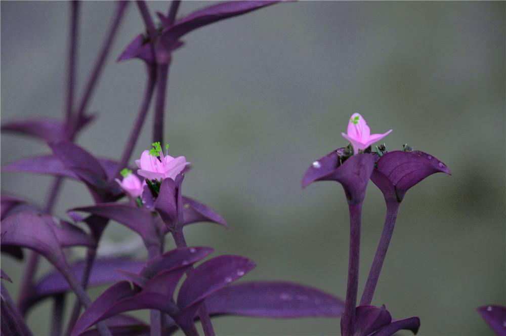 紫色叶子的花
